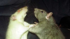 sewer rats fighting 300x168 Write the Wrong