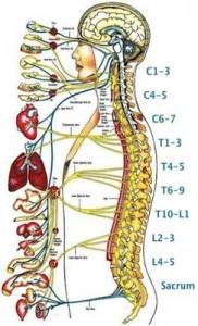 Chiropractor 182x300 Chiropractor Gurus