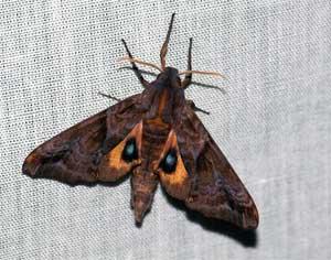 moth Moth