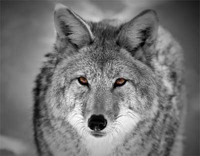 american jackal Prose and Verse Poetry Online Creative Writing  Route Ninety Seven