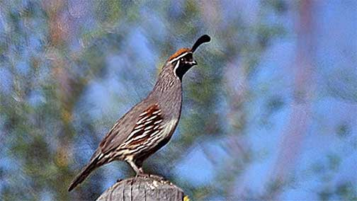 quail wikipedia Write Tip Spelling and Grammar Humor and Comedy  Homonym Humor
