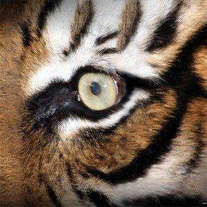 Tiger's Eye, Tiger's Eye