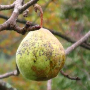 pear, Tin Buckets