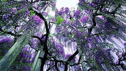 wisteria, Wild Love and Wisteria