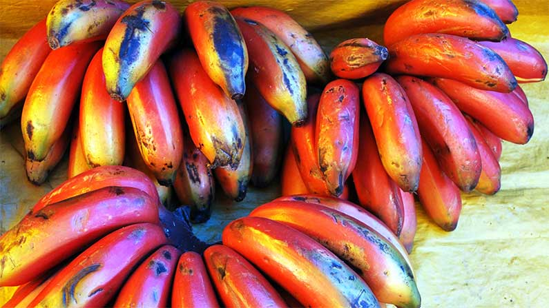 Perfect Banana, The Perfect Banana