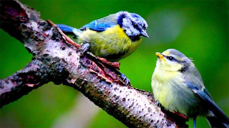 blue-tits