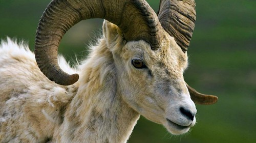 the Ram, 2015: The Year of the Ram