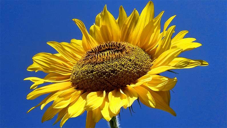 Sunflower, My Sunflower