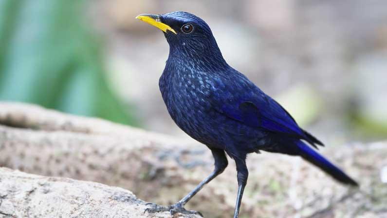 Hope - Blue-whistling thrush