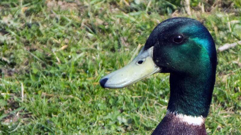 Ducky, Ducky