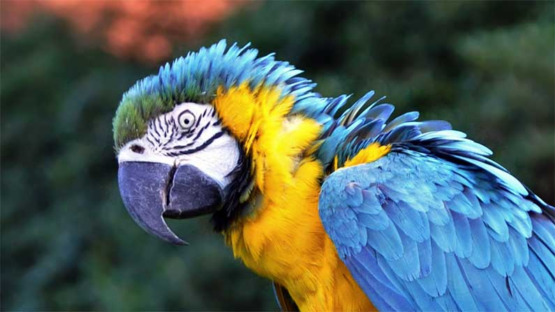 Our Fine Feathered Friends - Blue-and-yellow-macaw