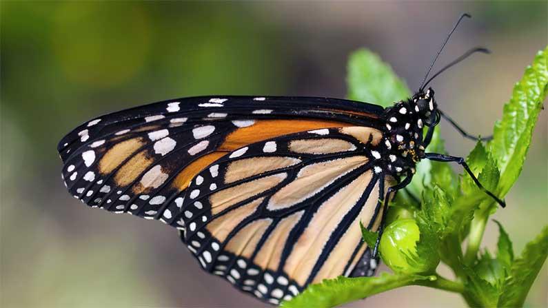 Opus - butterfly